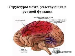 речевые центры мозга