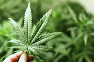 Coca-Cola планирует выпуск газировки с марихуаной